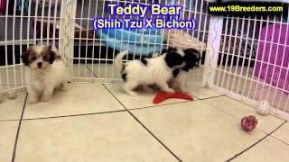 Teddy Bear, Puppies, For, Sale, In, Gresham, Oregon, County, OR, Multnomah, Washington, Clackamas, L