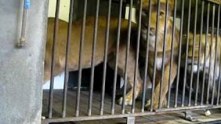 Leeuw (Panthera leo) Artis