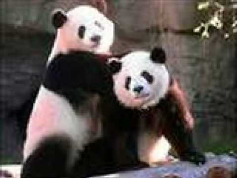 Rare Pictures of Pandas
