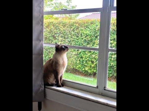 Siamese cat talking back