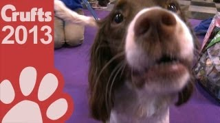 Springer Spaniel - Breed Rescue - Crufts 2013