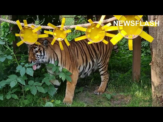 Female Tiger Enjoys Warm Autumn Days After Being Rescued By Animal Rights Organisation