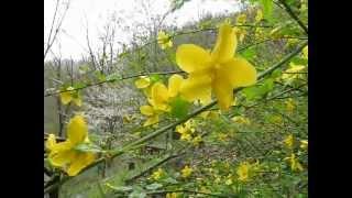 ヤマブキ(山吹)の花 Japanese kerria