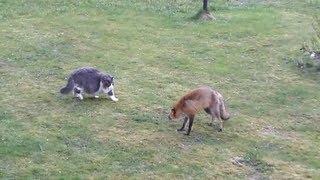 Cat vs Fox   ,  Кот прогоняет лису