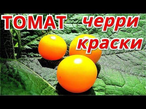 Томат ЧЕРРИ КРАСКИ. Самый сладкий томат.