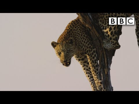 Thumbnail: Film crew attacked by leopard - Spy in the Wild: Episode 5 Preview - BBC One