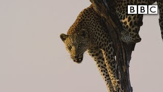 Film crew attacked by leopard | Spy in the Wild  BBC