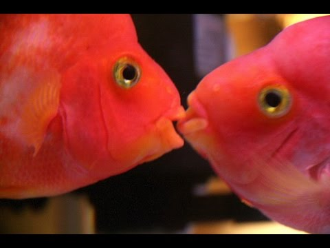 The couple of beautiful flowerhorn fishes cute fish 2017 for Fish fish fish fish fish