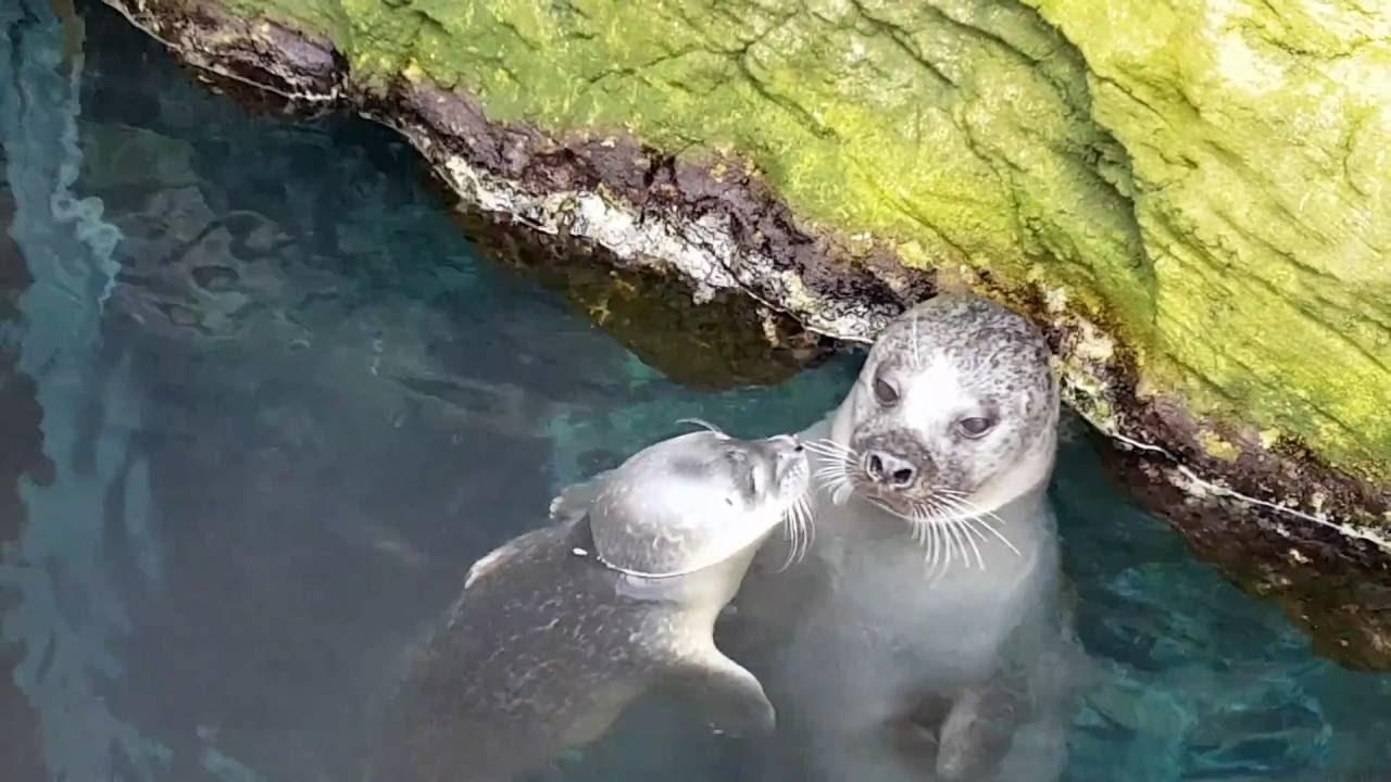 Acquario di genova un nuovo cucciolo di foca youtube for Cucciolo di talpa