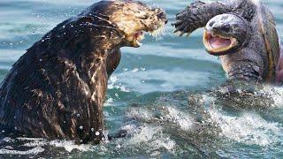 كمين ثعالب الماء للسلاحف في النهر/ الحياة البرية في عالم الحيوان