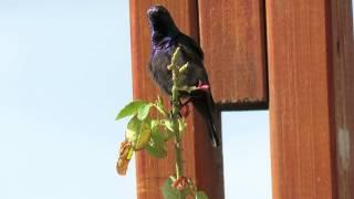 Palestine sunbird song  שירת הצופית