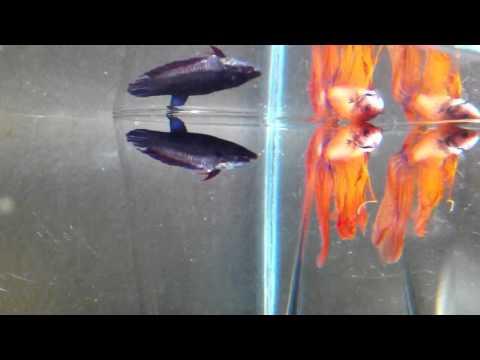 Betta (Siamese Fighting Fish) Fish Mating Dance