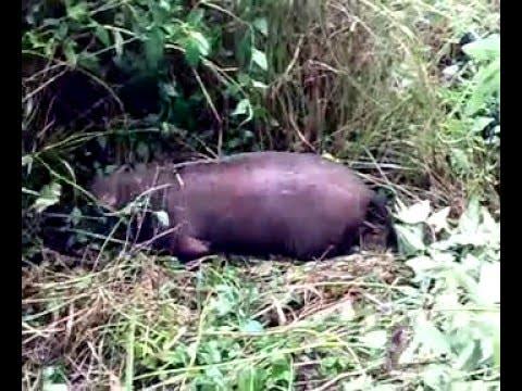 100+ Gambar Babi Hutan Kena Jerat HD