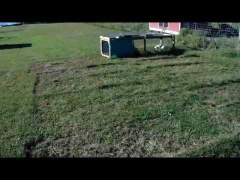 rabbit tractor video # 2 What happens to your yard after the rabbit tractor?