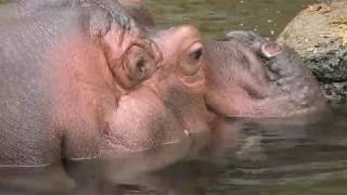 Snoring female hippo sleeping with eyes open. surprised. Shooting J...