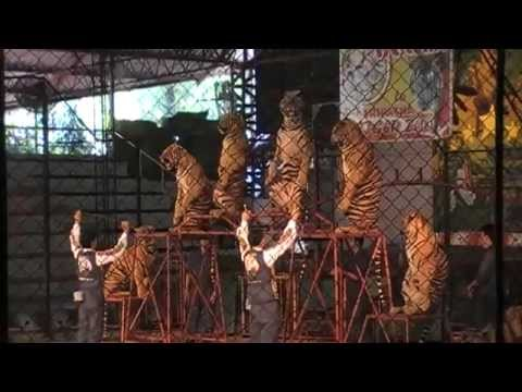 Thailand pattaya tiger show sriracha tiger zoo youtube - Show me a picture of the tiger ...
