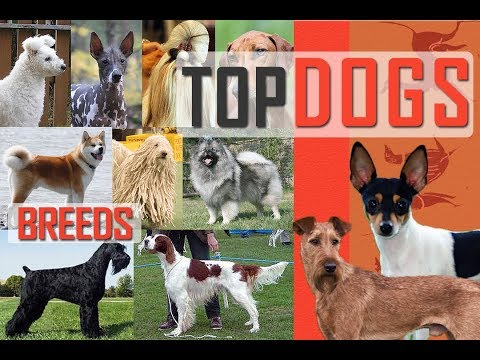 Top Dogs | Most Popular Dogs | Famous Dogs | Giant Dogs | Smallest Dogs | Hounds