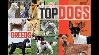 Top Dogs, Most Popular Dogs, Famous Dogs, Giant Dogs, Smallest Dogs...