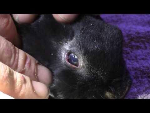 Raising Rabbits: Treating Nest Box Eye