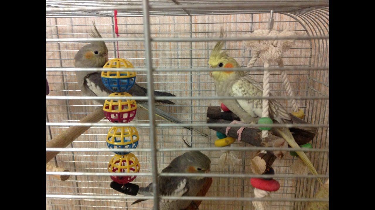 как познакомить попугаев видео