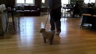 Jen - Trained Mini Goldendoodle Puppy