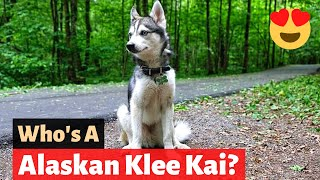 The Alaskan Klee Kai: Everything you need to know about this Dog Breed