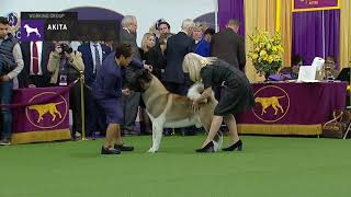 Akitas | Breed Judging 2019