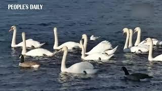 Yixiu Swan Lake of Wuxue, C China's Hubei