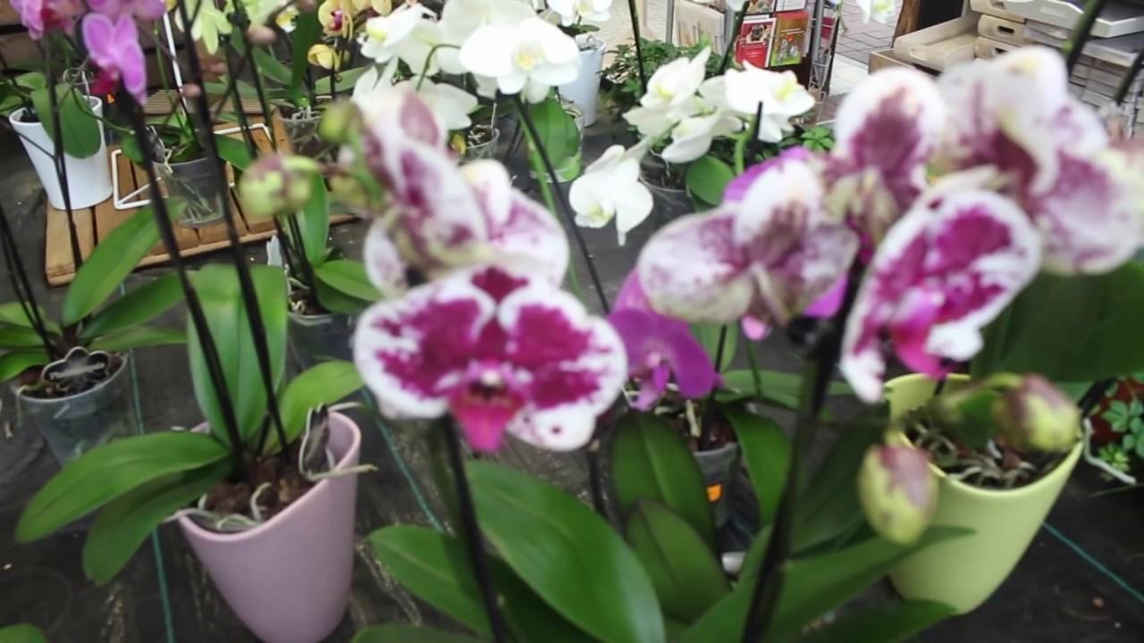 Обрезка стебля орхидеи и посадка
