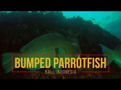 Bumphead Parrotfish | Bali Dawn Dive