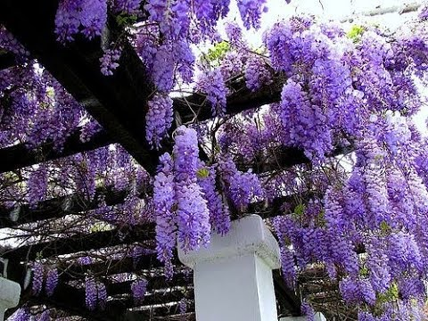 Planting Wisteria How To Grow Youtube