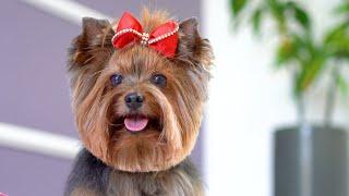 ¡EL YORKSHIRE MÁS HERMOSO DEL MUNDO! ❤ ❤ Lindo estilo cachorro Aseo con tijeras
