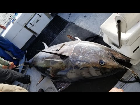 GIANT BLUEFIN TUNA, 600 And 700 Lbs. On Hook And Line, Chatham Massachusetts