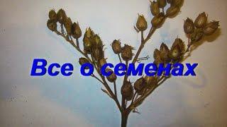 ДНЕВНИК ТАБАКОВОДА № 54 ( 28.09. Все о семенах табака ( извлечение , обработка , хранение ) ТАБАК