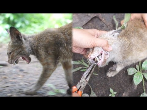 【ドキュメントノネコ】猫の喉に詰まった肉片を除去しました【Cat rescue】