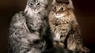 Порода кошек. Американский керл. Уникальная кошка,редкая и дорогая порода.
