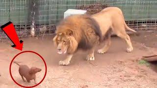 Köpeği Aslanın Kafesine Koydular Sonrasında Olanlar Görenleri Şok Etti
