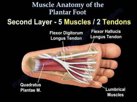 Muscle Anatomy Of The Plantar Foot Everything You Need To Know Dr Nabil Ebraheim Youtube