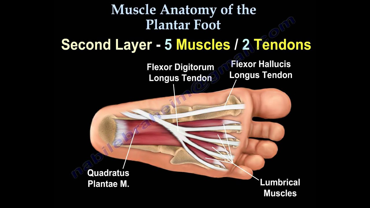 muscle anatomy of the plantar foot everything you need to know dr nabil ebraheim [ 1280 x 720 Pixel ]