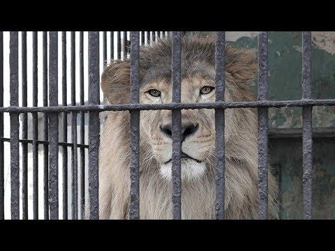 5 идиотов перелезших ограждение в Зоопарке