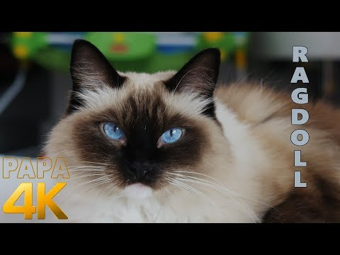 Ragdoll CAT purring sound. Relaxing cat sounds. Helps to fall asleep.