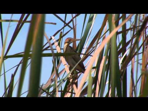 Birding Adventures TV Yellow-billed Parrots - Jamaica