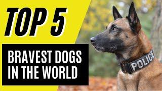 Top 5 Most Brave Dog Breeds in the World (German Shepherd, Blue Heeler)