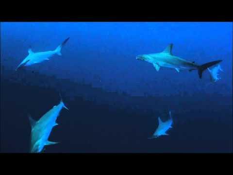 Hammerhead sharks at Daedalus Reef, Red Sea, Egypt 15/10-2015