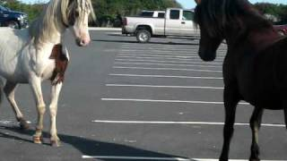 Horse Fight in Assateague MD