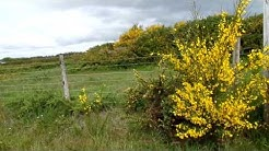 Gorse- the plant that destroyed a town