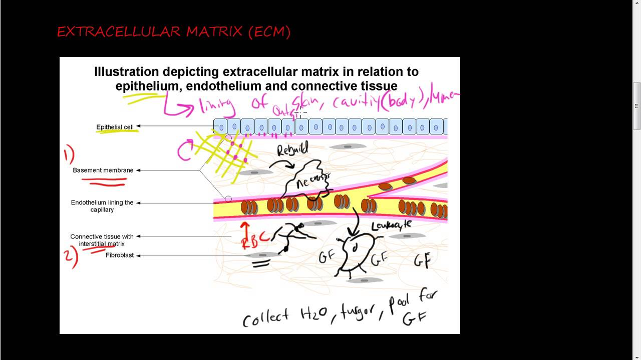 ecm 1 of 2 function of ecm and its components collagen youtube