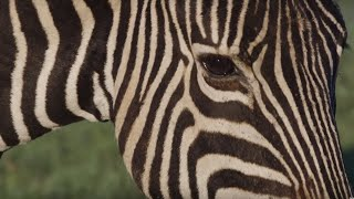 Why Are Zebras Black and White? | Wild Lands: South Africa | BBC Earth