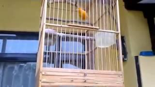 Download Suara Burung Masteran Kenari MP3
