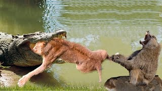 LIVE: Big mistake of TIGER when hunting the Giant ANACONDA! Tiger vs Anaconda, Hyena vs Lion thumbnail